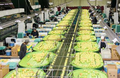 キタエアップル工場の箱詰め作業